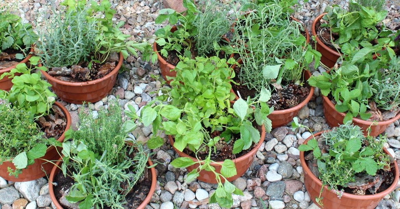 Ogródki ziołowe dla dzieci